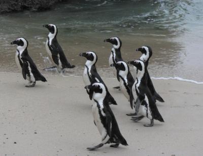 Pingvini korakajo po plaži