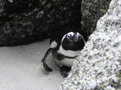 Pingvin se skriva pred fotografom