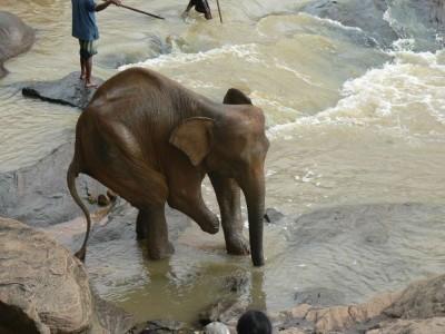Trinoga slonica