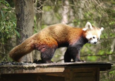 Tudi v Ljubljani imajo kul reči - tole je mačji panda (ali firefox) v živalskem vrtu.